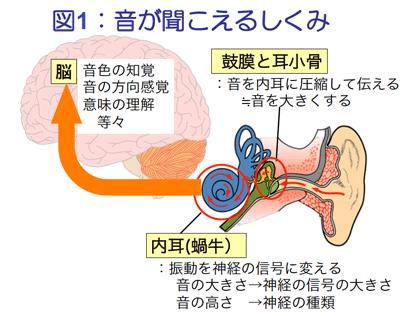 鼓膜と耳小骨が音を内耳に圧縮して伝える→音を大きくする。内耳(蝸牛)が振動を神経の信号に変える。音の大きさは神経の信号の大きさへ。音の高さは神経の種類へ。そして脳が神経信号を受け取り、音色の知覚、方向感覚、意味の理解などをおこないます。